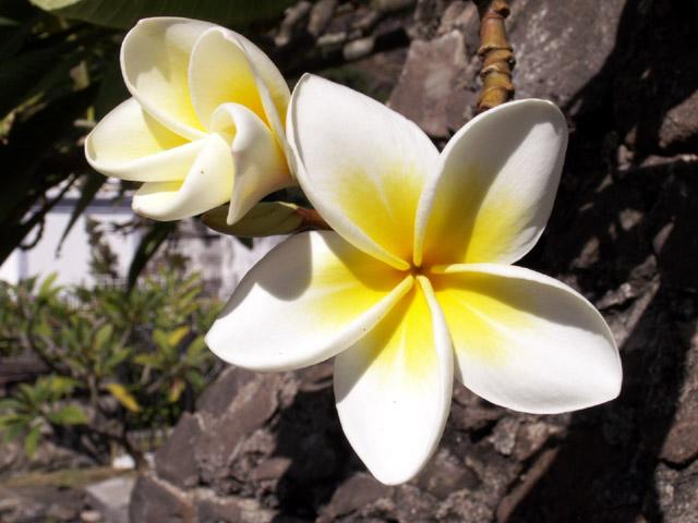 Frangipanier Fleur Photo Flore La Reunion N 2229