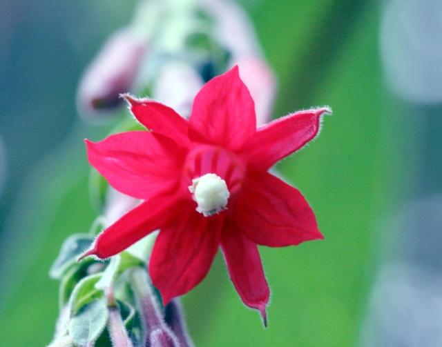 Fuchsia boliviana. Fleur.