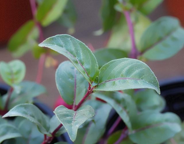 Fuchsia x exoniensis Paxton. Zanneau.