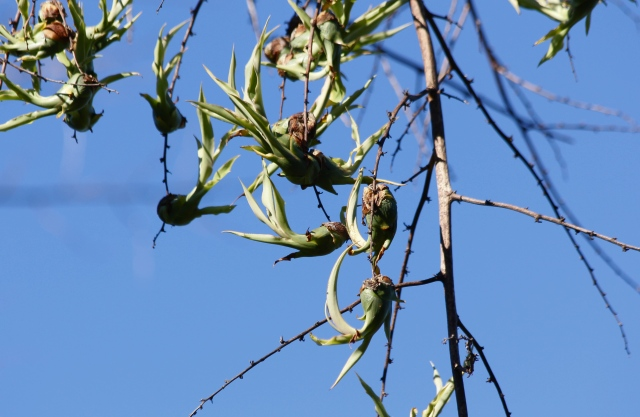 Bulbilles de Furcraea foetida (L.) Haw.