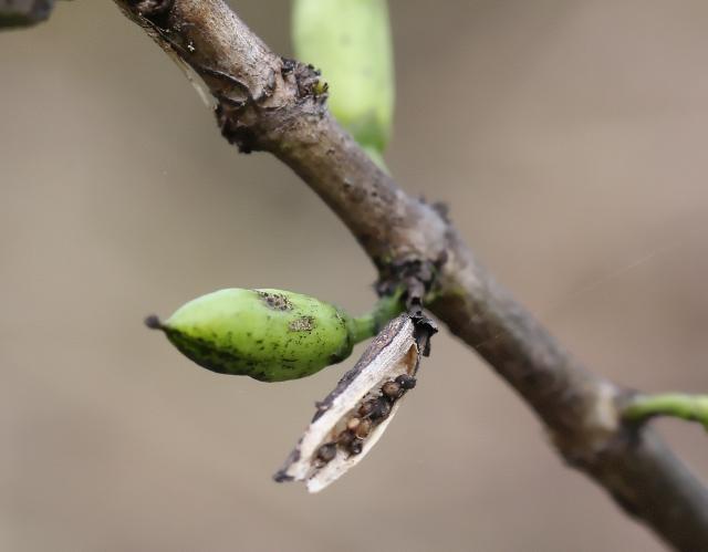 Geniostoma borbonicum. Fruits et graines.