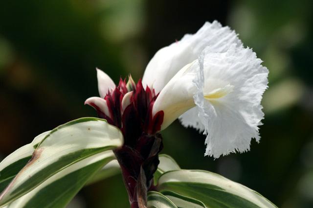 Fleur de Gingembre cr&Cheilocostus Speciosus variegatus.;pe panaché.