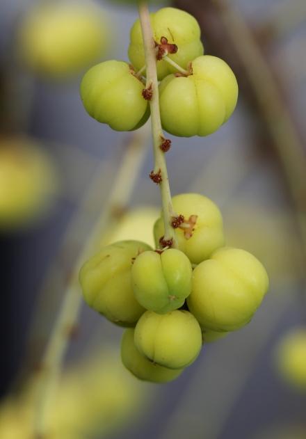 Phyllanthus acidus. Girimbellier, fruit girimbelle.