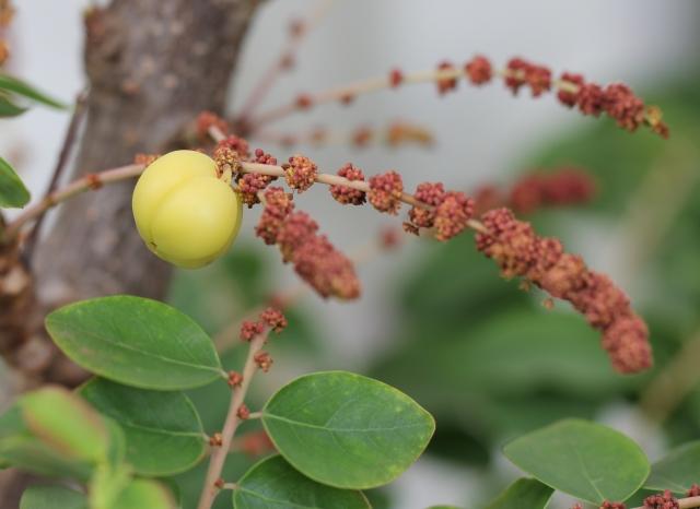Fleurs et fruit Phyllanthus acidus.