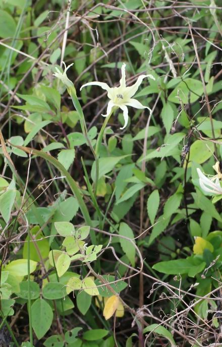 Gladiolus undulatus L.