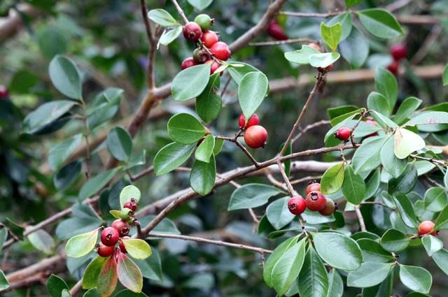 Goyavier Goyave. Psidium cattleianum Sabine.