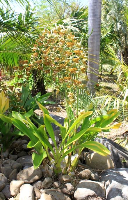Grammatophyllum speciosum. Orchidée tigre.