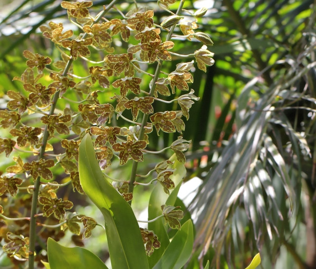 Grammatophyllum speciosum.