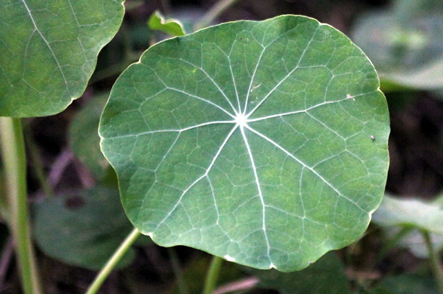 Tropaeolum majus. Feuille