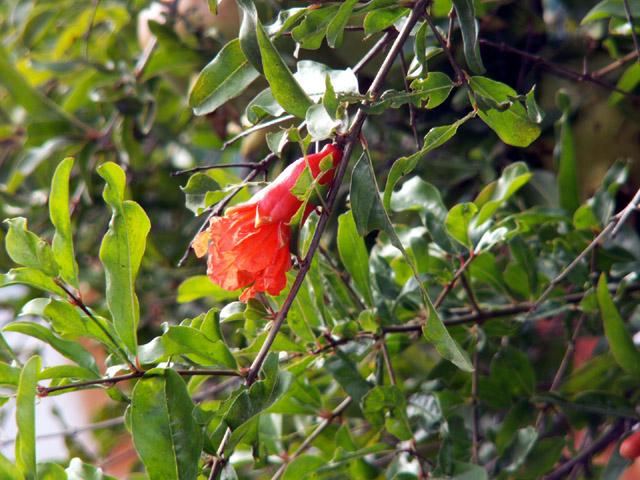 Punica granatum, Grenadier. Grenade Fleur