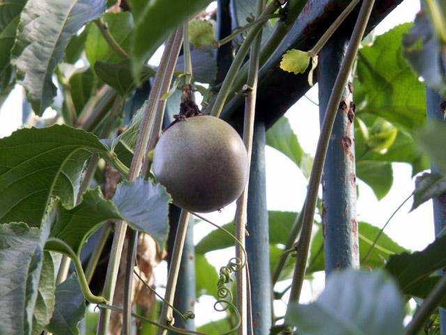 Grenadille fruit de la passion Passiflora edulis