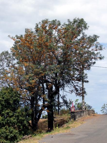 Grevillea robusta, Grévillier. Grévillaire