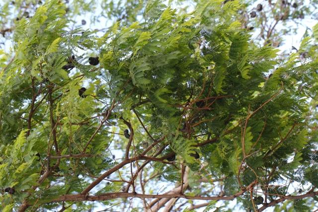 Enterolobium cyclocarpum. Guanacaste, Oreille cafre.