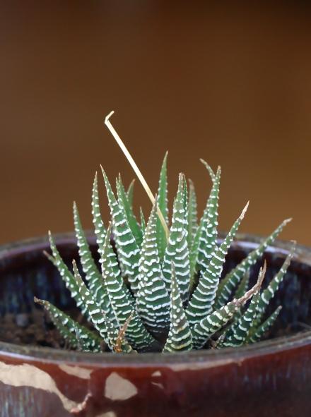Haworthia fasciata.