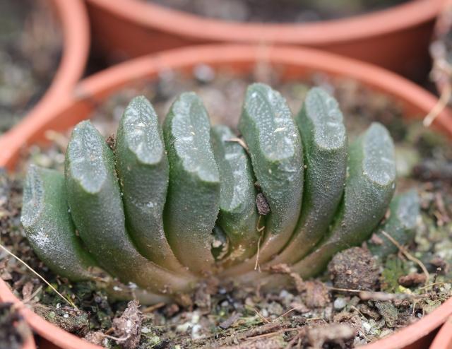 Haworthia truncata Schönland