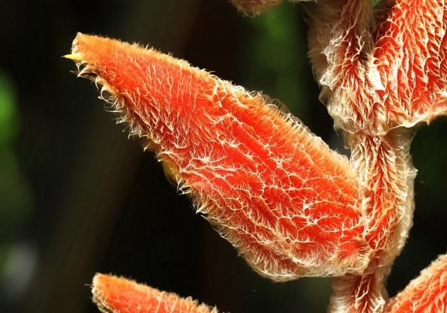 Heliconia vellerigera. Bractée