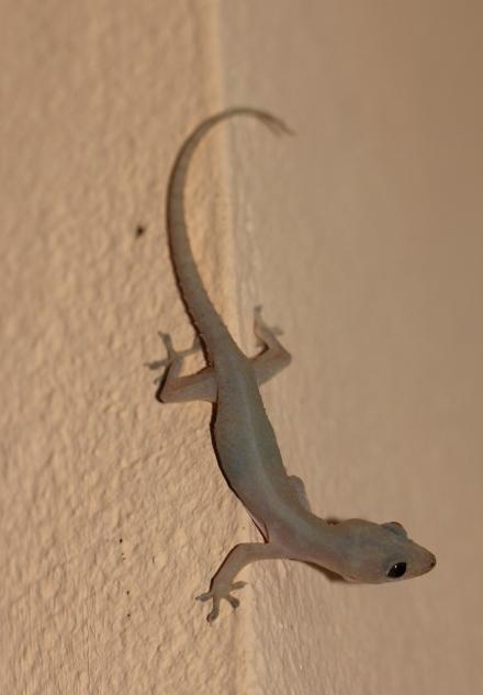 Hemidactylus frenatus Duméril & Bibron, 1836
