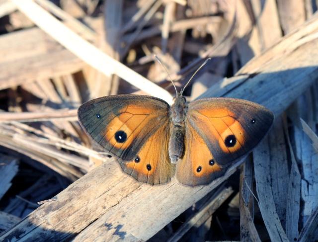 Papillon Henotesia narcissus borbonica (Oberthür, 1916).