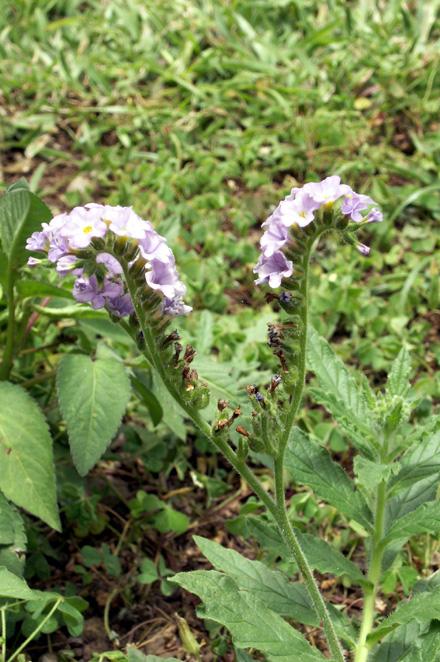 Herbe à papillons ou Héliotrope à feuilles d'Ormin - Heliotropium indicum