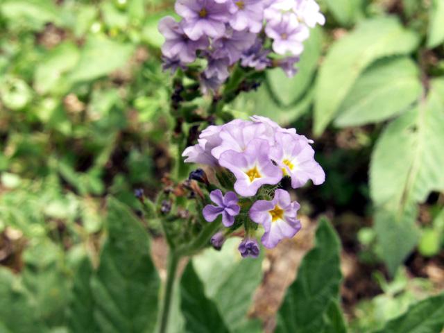 Herbe à papillons - Heliotropium indicum