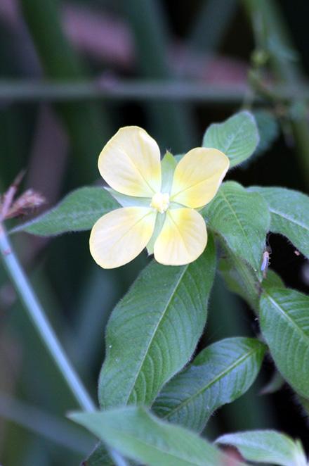 Fleur Ludwigia octovalvis. Herbe bourrique