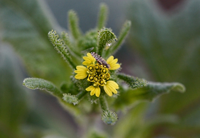 Fleur : Sigesbeckia orientalis L.