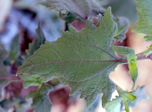Feuille : Sigesbeckia orientalis L.
