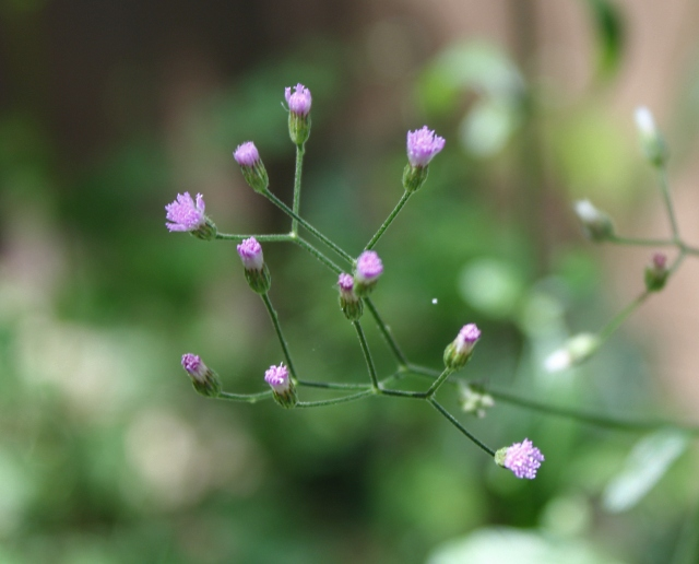 Cyanthillium cinereum (L.) H.Rob. Fleurs.