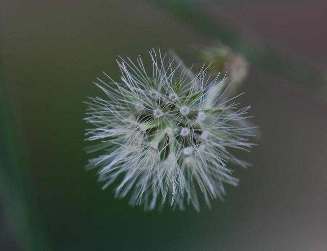 Cyanthillium cinereum (L.) H.Rob. Akéne.