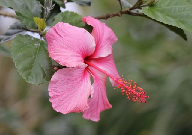 Fleur Hibiscus rosa sinensis