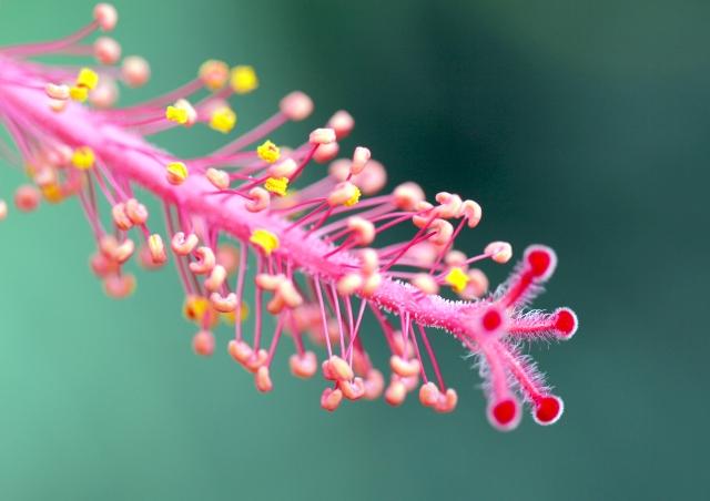 Colonne d'étamines Hibiscus rosa sinensis