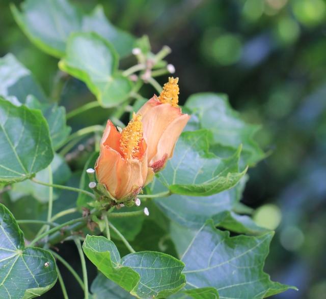 Hibiscus columnaris Cav.