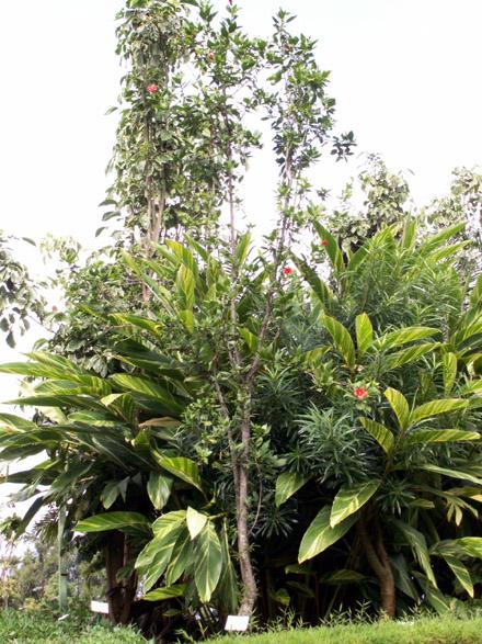 Hibiscus Boryanus, Foulsapate marron ou Mahot bâtard
