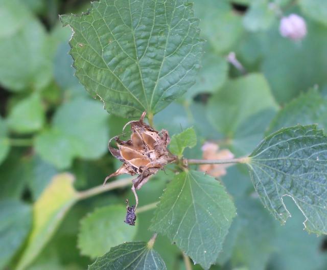 Hibiscus ovalifolius (Forssk.) Vahl.