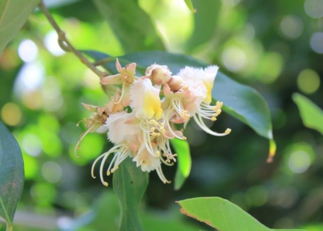 Hiptage benghalensis. Liane papillon