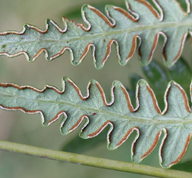 Histiopteris incisa (Thunb.) J. Sm.
