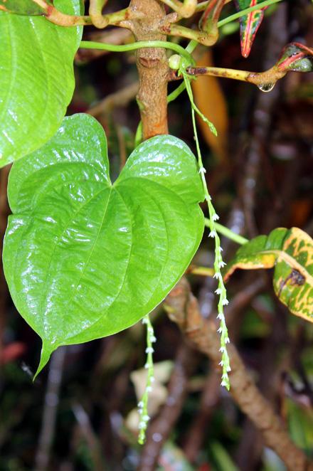 Fleurs : Hoffe Pomme en l'air Dioscorea bulbifera