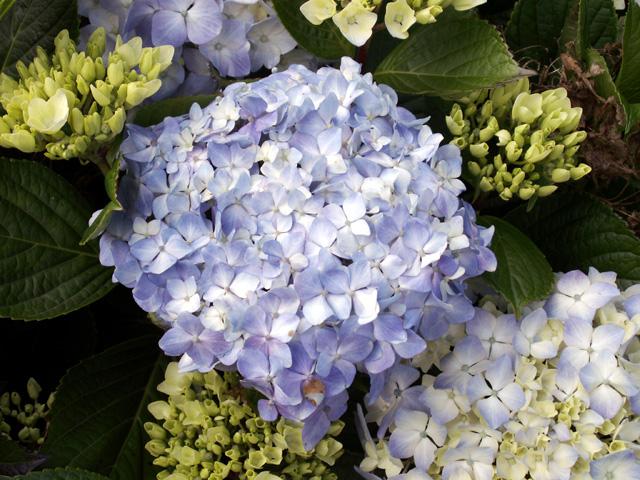 Fleur : Hortensia, rose du Japon. Hydrangea macrophylla