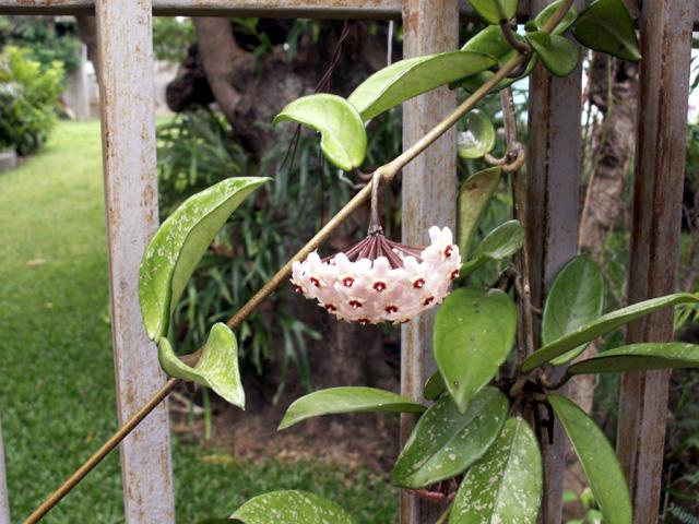 Hoya carnosa. Fleur de porcelaine ou fleur de cire.