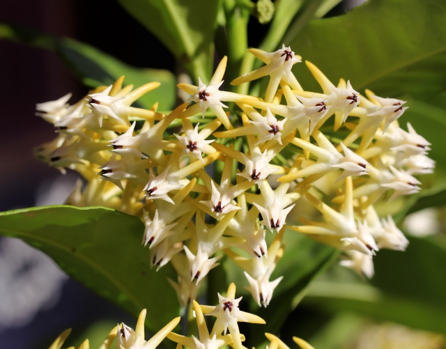 Hoya multiflora Blume.