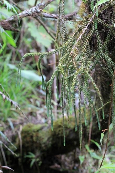 Huperzia gnidioides (L. f.) Trevis.