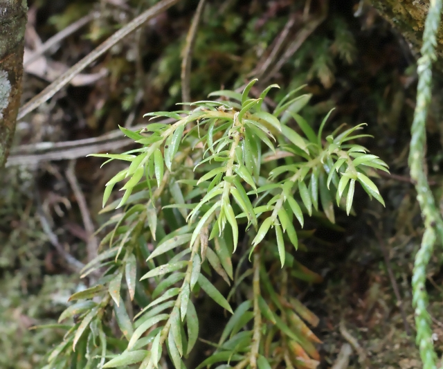 Huperzia ophioglossoides (Lam.) Rothm.