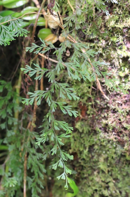 Hymenophyllum inaequale (Poir.) Desv.