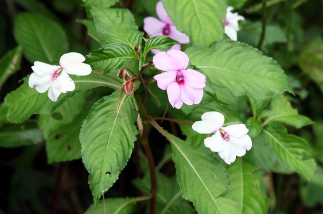 Fleurs : Impatiens flaccida Arn.