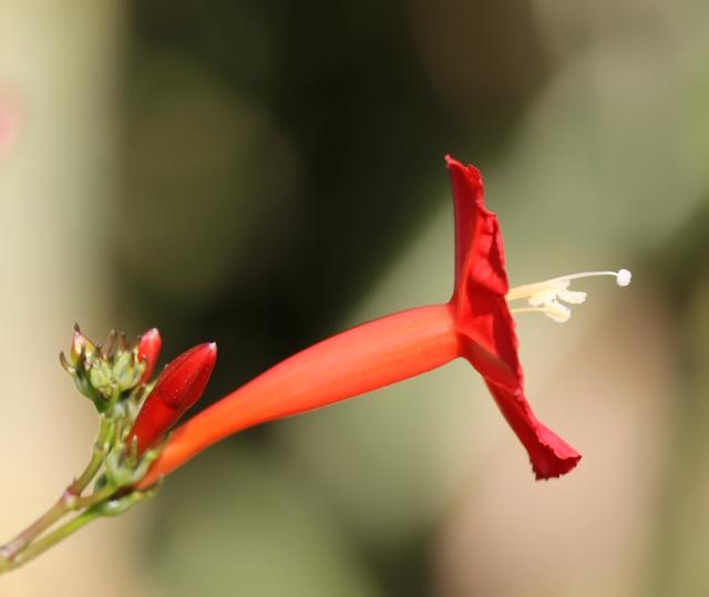 Ipomoea hederifolia L.