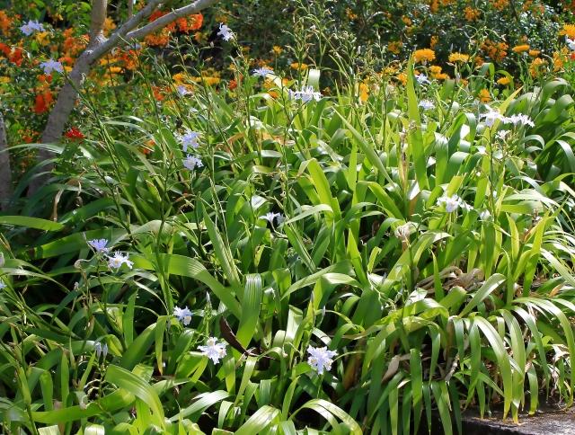 Iris japonica Thunb. Iris du Japon.