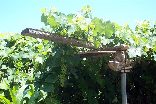 Vigne isabelle, vigne américaine ou Vigne-framboisier. Vitis labrusca