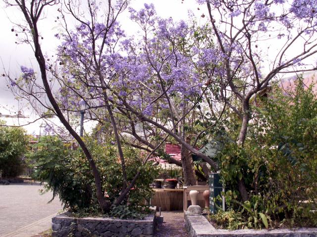 Jacaranda Flamboyant bleu