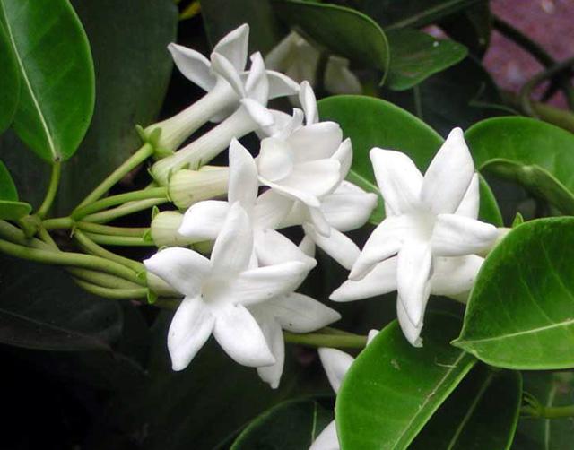 Jasmin De Madagascar Ou Liane De Cire Flore De La Reunion