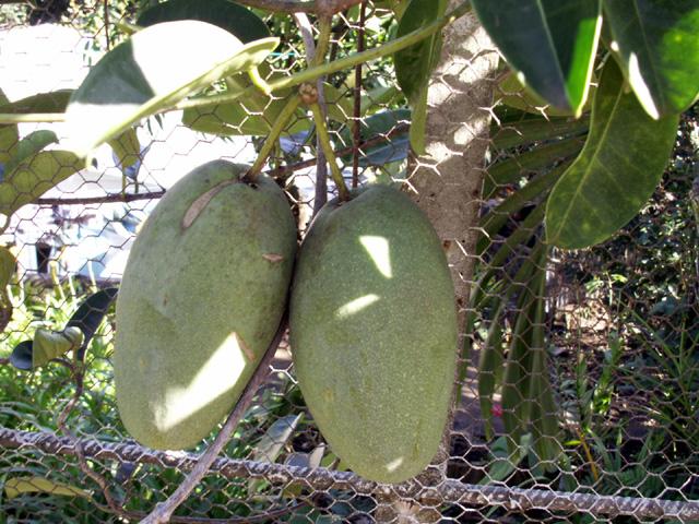 fruit du jasmin de Madagascar. Marsdenia floribunda (Brongn.) Schltr.car.